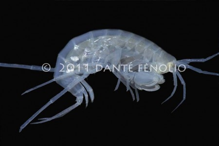 Only known from the Arbuckles of Oklahoma, the Oklahoma Cave Amphipod (Allocrangonyx pellucidus) is a relatively large groundwater amphipod that has greatly reduced visual structures and pigmentation.