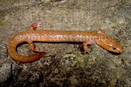 Metamorphosed adult West Virginia Spring Salamanders (Gyrinophilus subterraneus) are rare, but we did encounter both life stages during our survey of their one known population.