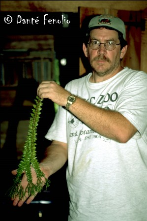 Jim Stout is displaying a clipping from an epiphytic fern in the genus <em> Huperzia</em>.