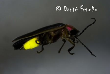 Georgia Firefly No6 LOWRES