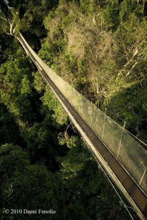 View of the canopy walkway from a platform on one of the emergent rainforest trees. & The ACTS Canopy Walkway | anotheca