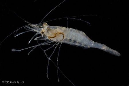 Glass Shrimp (cf Palaemonetes species (perhaps P. ivonicus))> It may ...