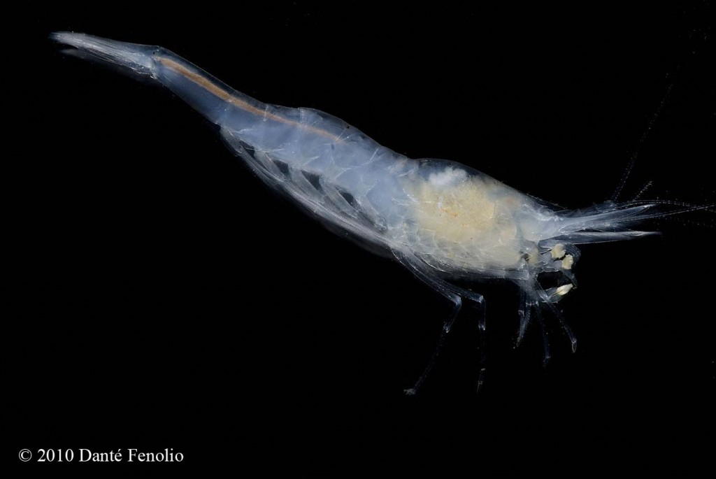 "The Alabama Cave Shrimp (Palaemonias alabamae) is a federally listed endangered species also ranked by the IUCN as ""EN"" or endangered."