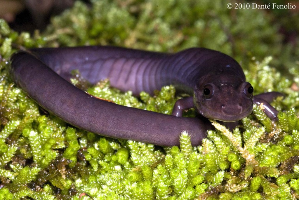 The Red Hills Salamander can attain lengths of roughly 10 inches (~25 cm).