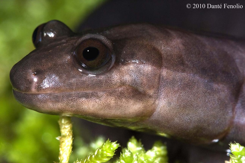 I'd like to thank J.J. Apodaca for showing me such a cool salamander!