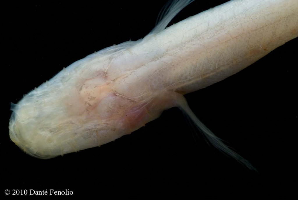 Adding to their strange appearance, the lack of eyes in Southern Cave Fish make them an oddity for most folks.