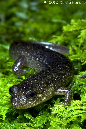 A juvenile Black-Bellied Salamander (Desmognathus quadramaculatus).