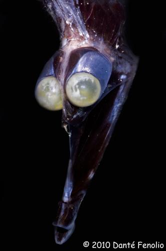 The Tube-Eye (Stylephorus chordatus)