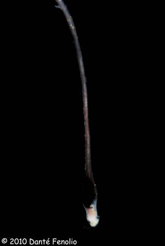 The chin barbel of a Dragonfish (Borostomias cf monomena)