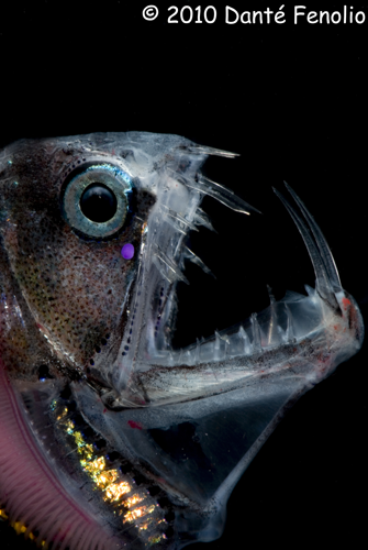 The business end of a Viperfish (Chauliodus sloani)