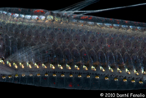 The photophores on the side of a Viperfish (Chauliodus sloani)