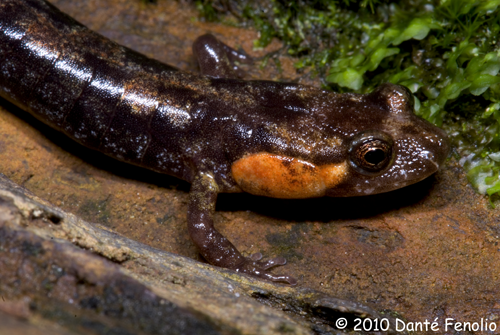 The Imitator Salamander (Desmognathus imitator).
