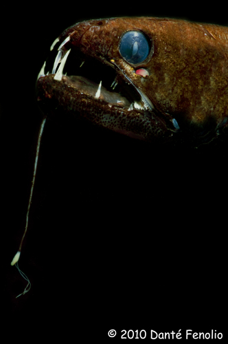 Dragonfish (Echostoma species)