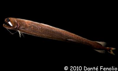 Dragonfish (Echostomia cf barbatum)