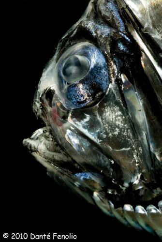 Globe eye hatchet (Argyropelecus sp.)