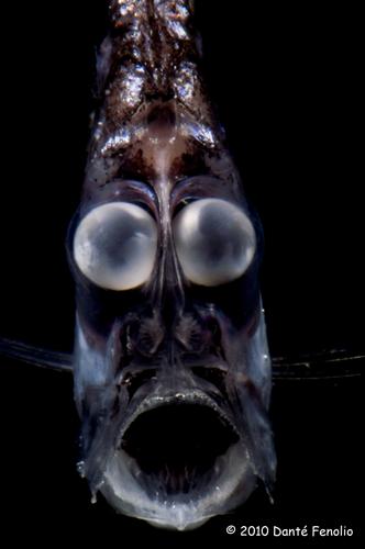 Globe eye hatchet (Argyropelecus aculeatus)