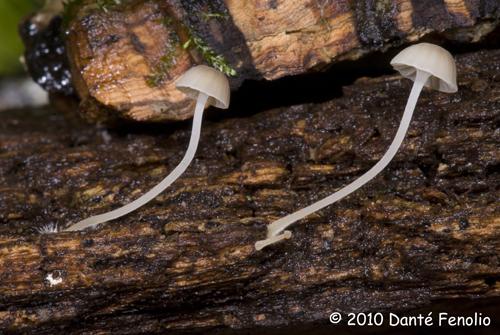 Bioluminescent mushroom (Mycena species) in daylight.