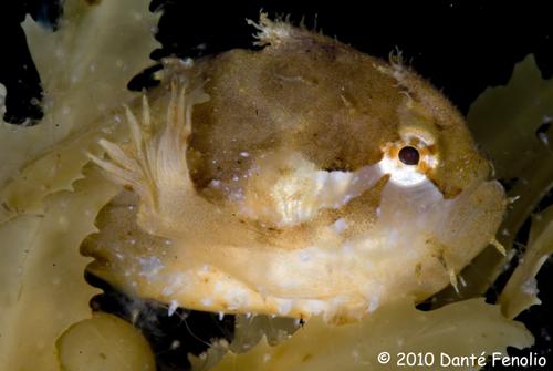 Juvenile Sargassum Anglerfish (Histrio histrio)