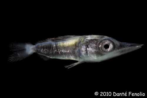 Larval Billfish