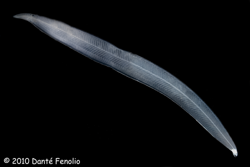 Larval Eel (Leptocephalus)