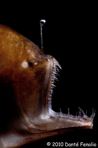 The Humpback Blackdevil (Melanocetus johnsoni) an abyssal anglerfish