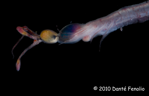 The bioluminescent lure at the end of the barbel of a Dragonfish (Possibly a species of Melanostomias)
