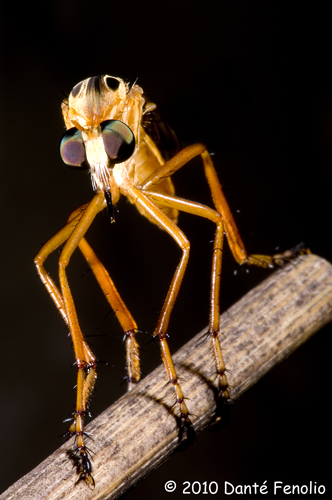 A Robber Fly native to the region.