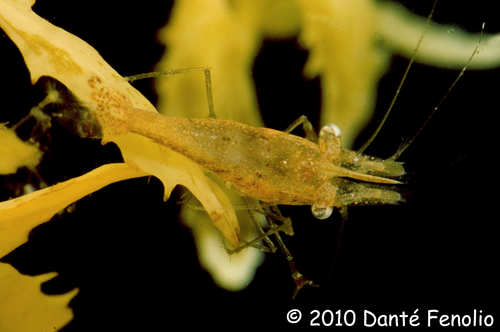 Sargassum Shrimp