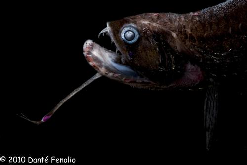 Dragonfish (Stomias species)