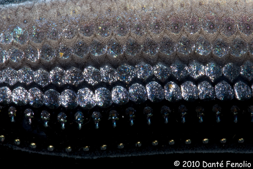 The photophores on the side of a Dragonfish (Stomias species)