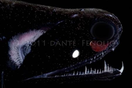 A Dragonfish (Aristostomias)