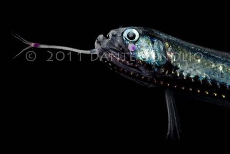 A Dragonfish (Stomias affinis)