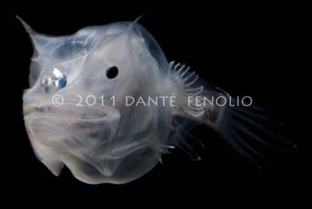 The Ghostly Seadevil (Haplophryne mollis)