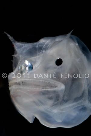 Ghostly Seadevil, Haplophryne mollis No2, 1200 meters, GOM September 2011 LR-C