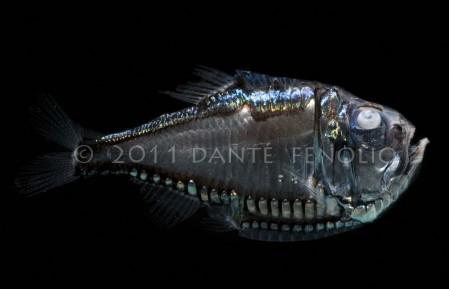 Hatchetfish (Argyropelecus gigas)