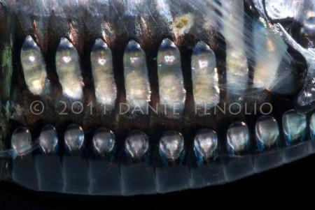 The ventral photophores of Argyropelecus gigas.