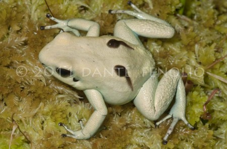 Terrible Poison Frog, Phyllobates terribilis, transporting tadpoles No7
