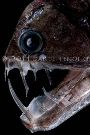 A Viperfish (Chauliodus sloani)