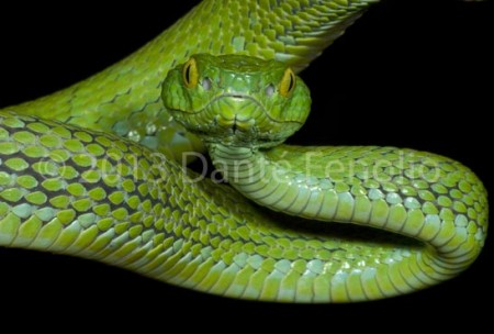 """The Mexican Palm Viper, Bothriechis rowleyi, is endemic to southeastern Oaxaca, Mexico.  It inhabits elevated forests from 1,500 to 1,830 meters above sea level.  The International Union for Conservation of Nature lists the species as """"VU""""€ or vulnerable. This individual was photographed courtesy of the San Antonio Zoo, April 2013."""