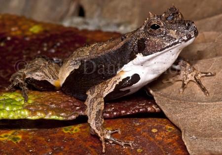The Amazon Eyelash Frog (Edalorhina perezi) is an inhabitat of leaf litter on primary forest floors.