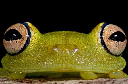 The Eye-ringed Bushfrog (Hypsiboas cinerascens)