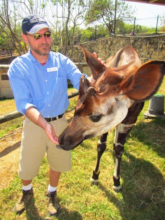 I got to meet one of the zoo's Okapi up close and personal.