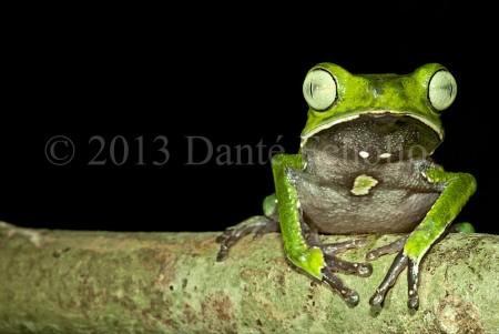 The Silver-eyed Monkeyfrog (Phyllomedusa vaillantii)