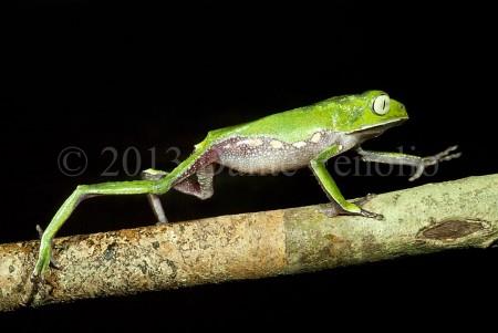 The Silver-eyed Monkeyfrog (Phyllomedusa vaillantii) prefers crawling to hopping
