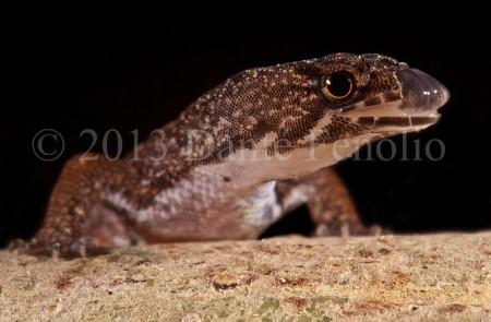 An Amazon Pigmy Gecko  (Pseudogonatodes guianensis)