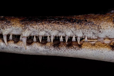 I am impressed with all of the captive reproduction success stories at the San Antonio Zoo.  One of the successes involves the False Gharial (Tomistoma schlegelii).  The shot you see here is a close up of the mouth of a captive born juvenile.