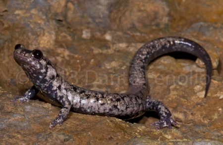 "A ""Frosted"" Slimy Salamander (Plethodon glutinosus) from Marion Co., TN"