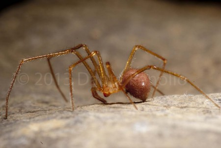 A cave spider (Nesticus cf barri) in a cave from Marion Co., TN