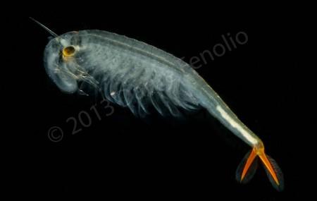Smaller Fairy Shrimp species No1 LR-M