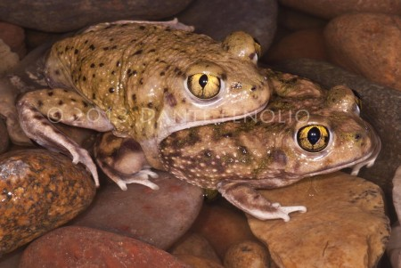 The Spadefoot Toads stir from their buried positions in the mud and move into epheroral pools to breed